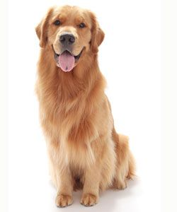 Find this Pin and more on Golden Retrievers by dennis4272. - Golden Retriever PNG