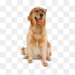 Glasses Retriever - Golden Retriever PNG