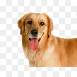 Golden dog - Golden Retriever PNG