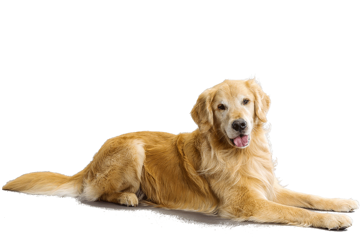 Golden Retriever PNG - 75694