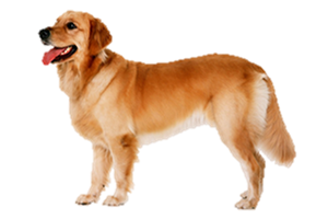 Golden Retriever PNG - 75698