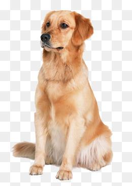 Golden Retriever dog, Pet Dog, Animal Material, Golden PNG Image - Golden Retriever PNG
