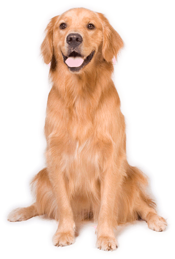 Golden retriever.png - Golden Retriever PNG