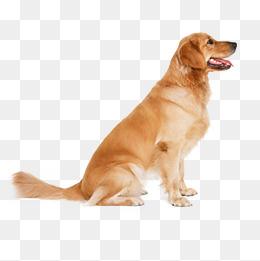 Golden Retriever puppy, Pet Dog Creative Collection, Element, Element Dog  PNG Image - Golden Retriever PNG