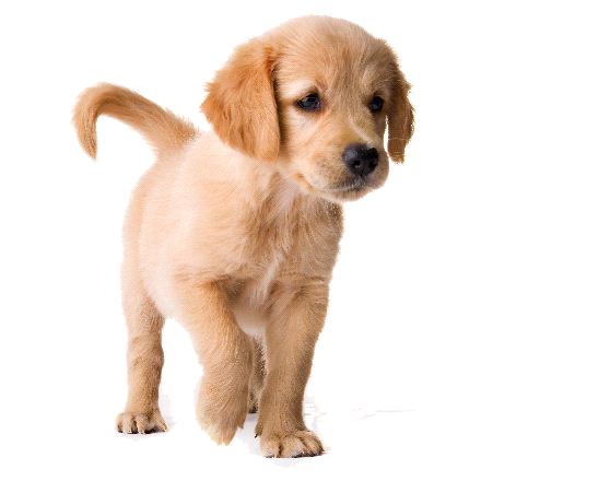 Golden Retriever Puppy PNG Image - Golden Retriever PNG