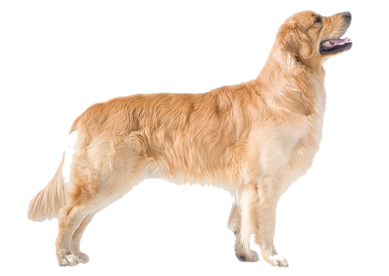 The Golden Retriever appears symmetrical, powerful, and well-balanced. The  sum of its appearance u2014balance, gait, friendly and intelligent expressionu2014  is PlusPng.com  - Golden Retriever PNG