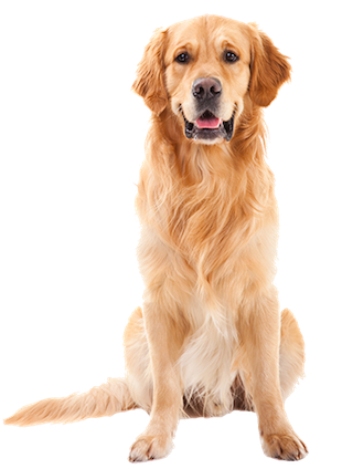 Why choose a Golden Retriever to be the star of your ecard? - Golden Retriever PNG