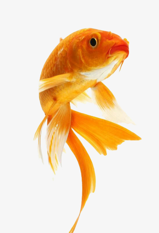 Goldfish PNG HD - 124068
