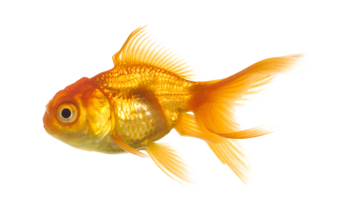 Goldfish PNG HD - 124060