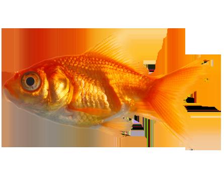 Goldfish PNG HD - 124069
