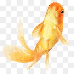 Goldfish PNG HD - 124070