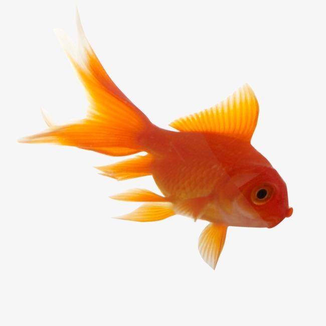 Goldfish PNG HD - 124061