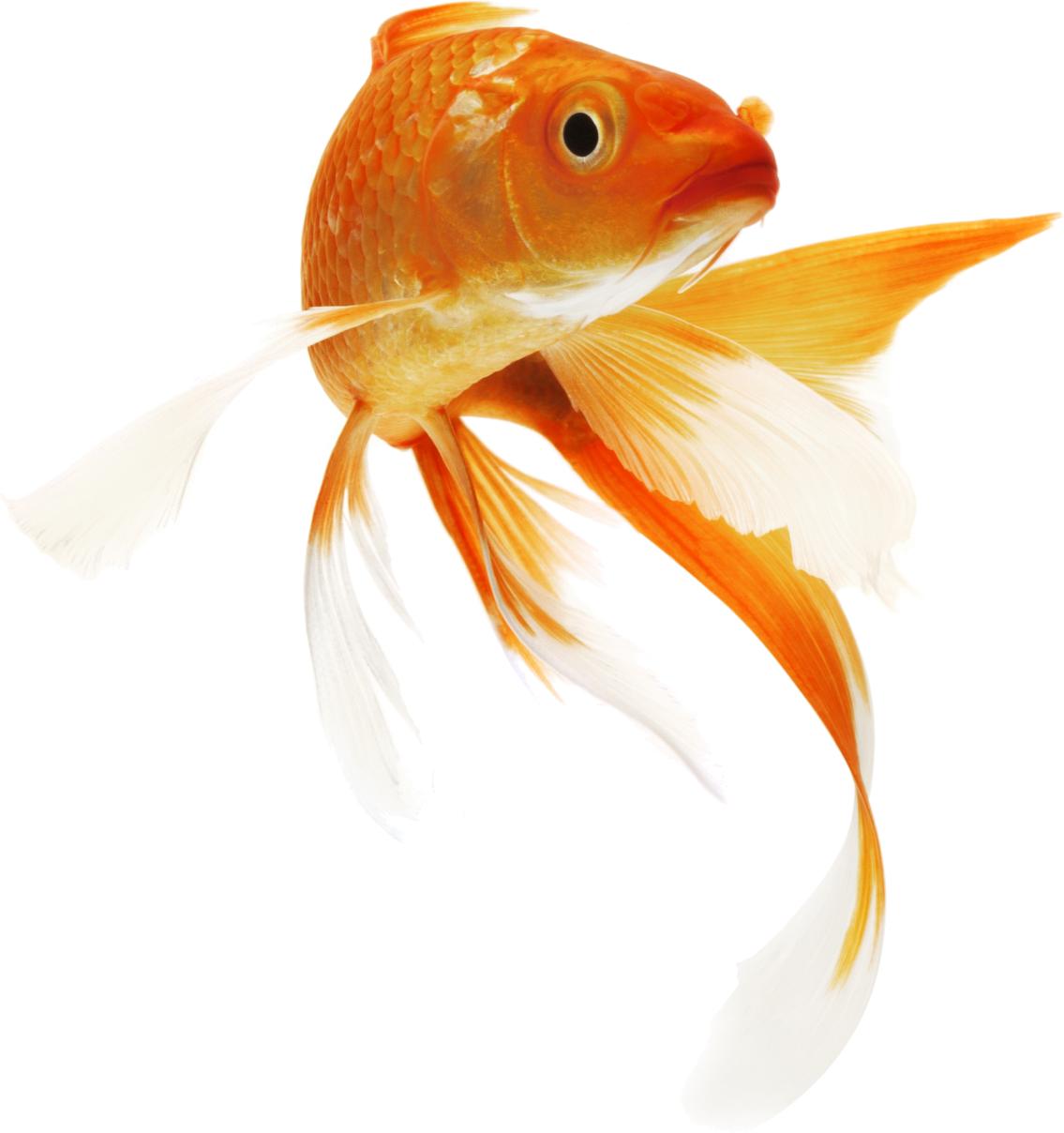 Goldfish PNG HD - 124065