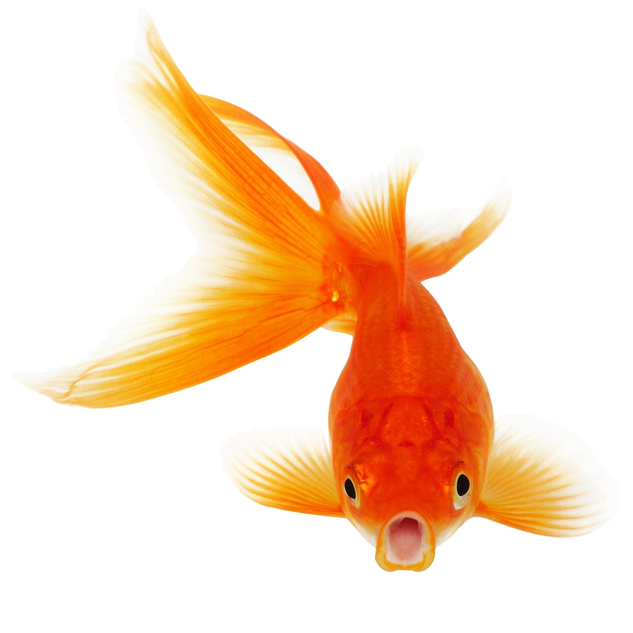 Goldfish PNG HD - 124064
