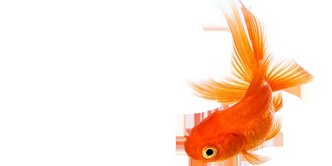 Goldfish PNG HD - 124066