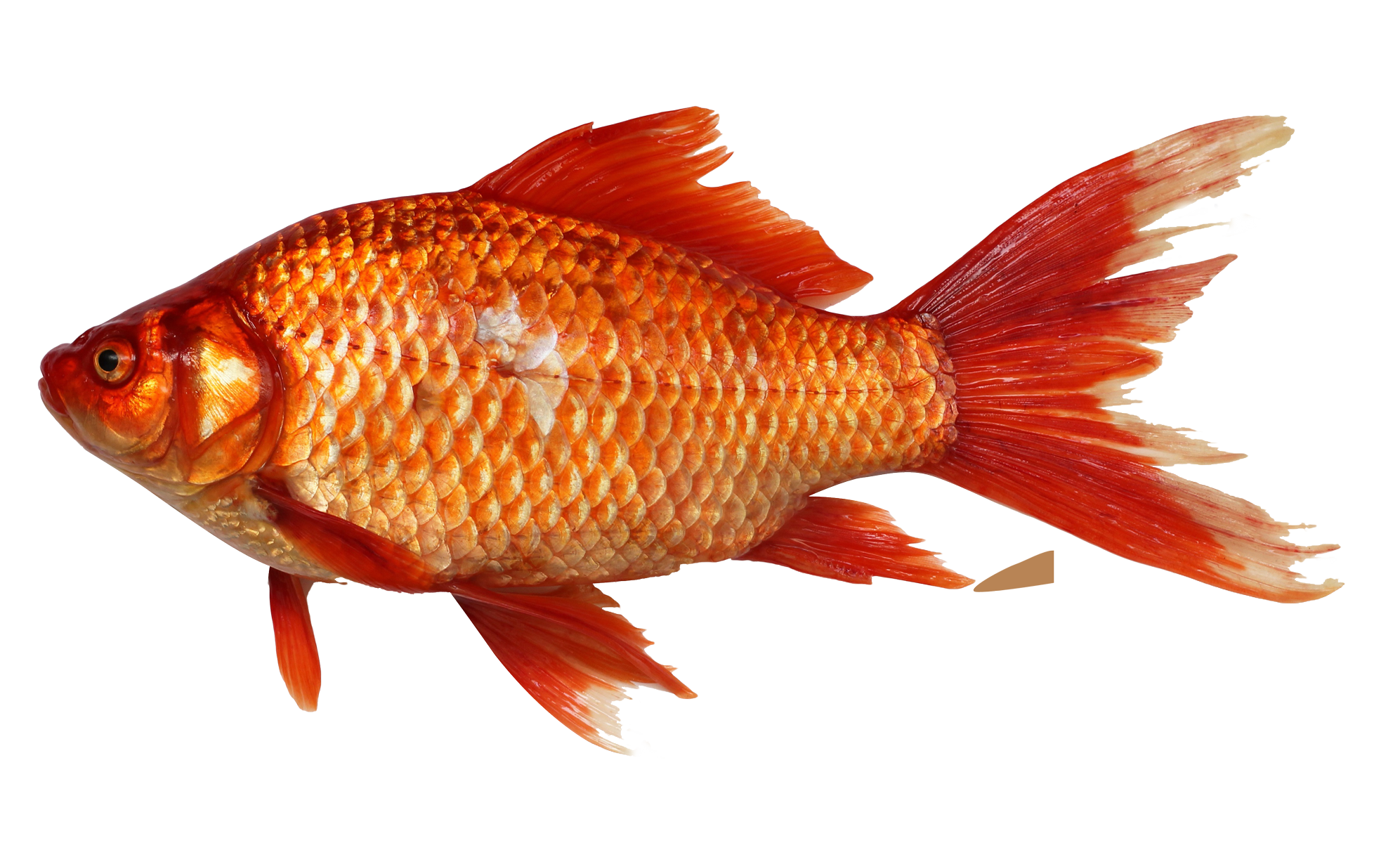 Fish PNG - 5053
