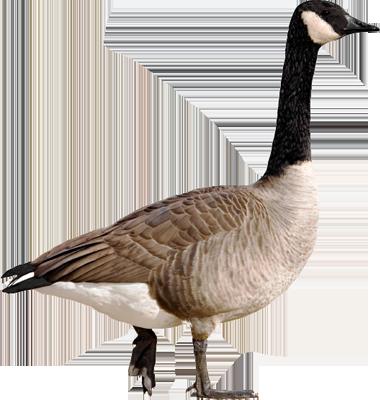 goose hd png transparent goose hd png images pluspng