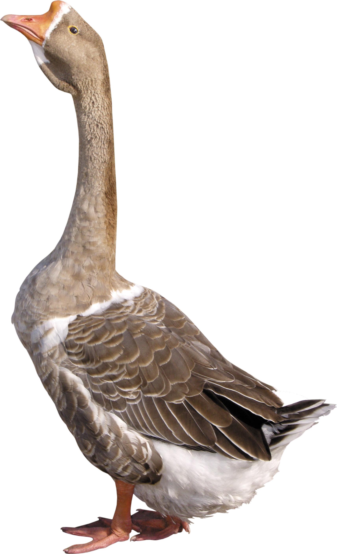 Goose PNG - Goose PNG