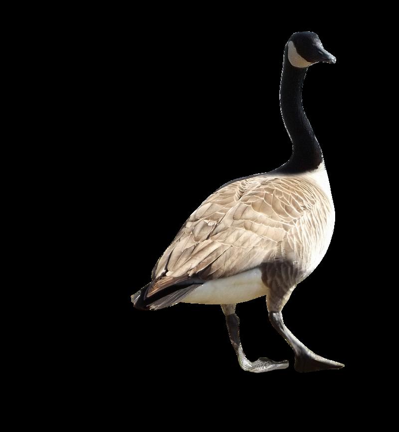 Goose PNG Image - Goose PNG