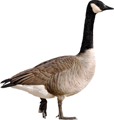 Goose Png Pictures image #33511 - Goose PNG