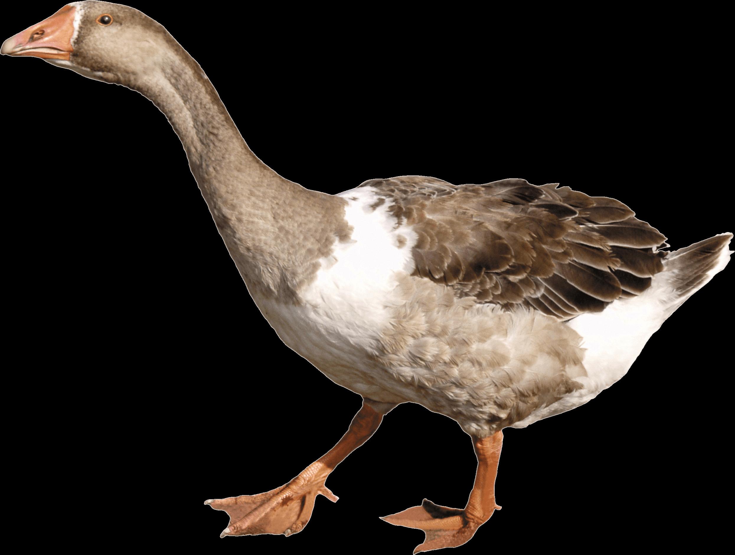 Grey Duck - Goose PNG