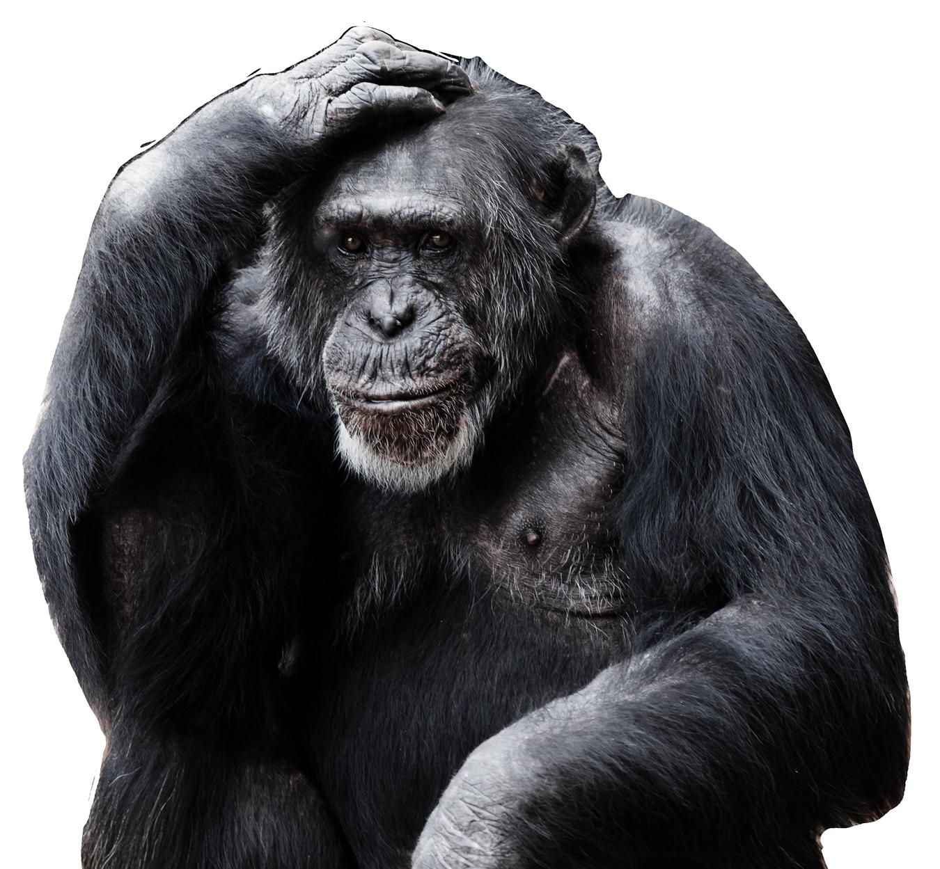 Gorilla PNG - 12150