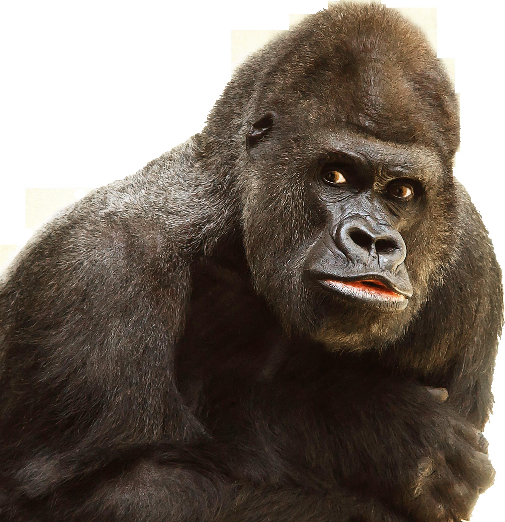 Gorilla PNG - 12142