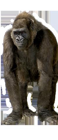 Gorilla PNG - 12158