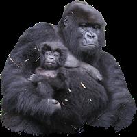 Gorilla PNG - 12153