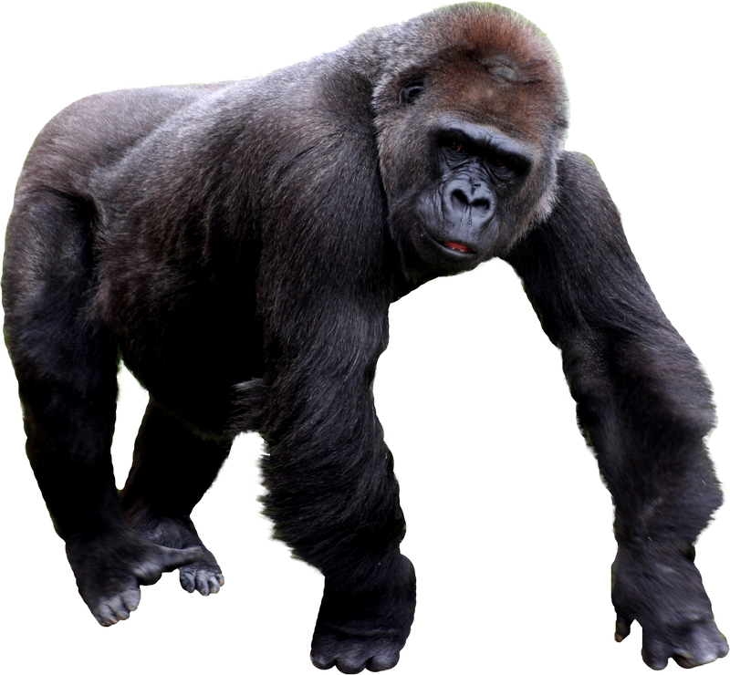 Gorilla PNG - 12145