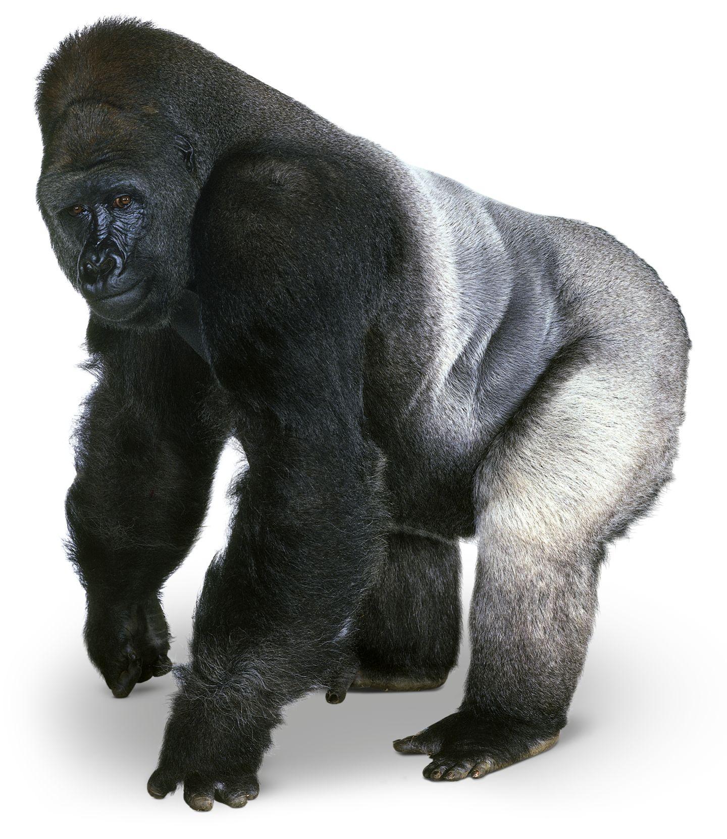 Gorilla PNG - 12148