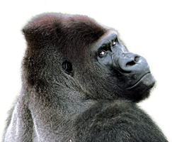 Gorilla PNG - 12152