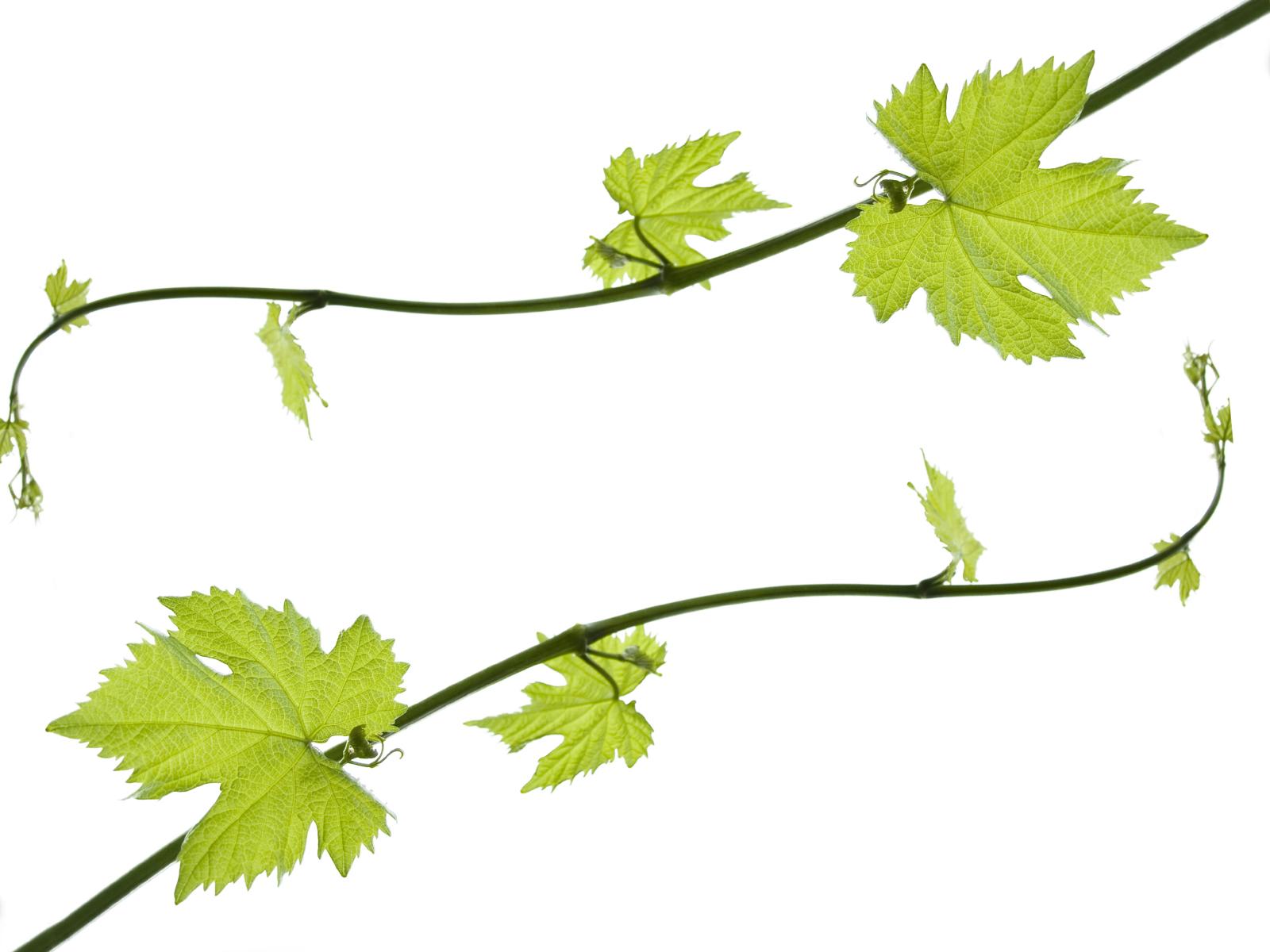 Grape Vine PNG HD Free - 121230