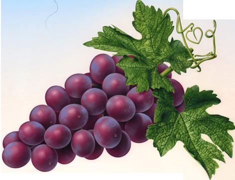 Grapes PNG - 21514