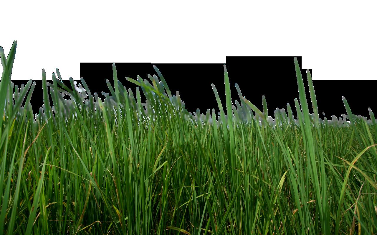 Grass HD PNG - 119875