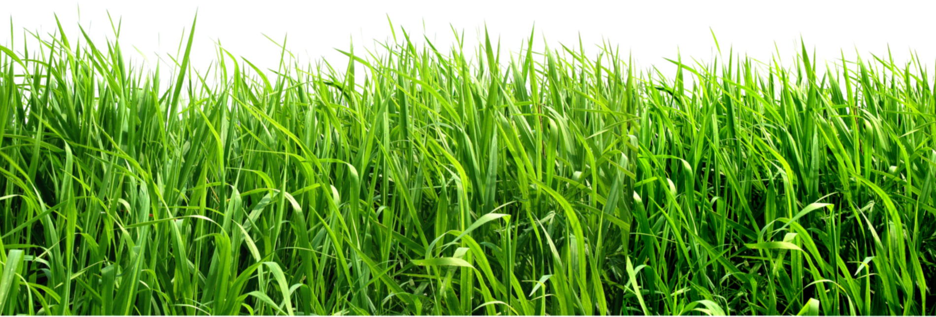 Grasses PNG HD - 150642