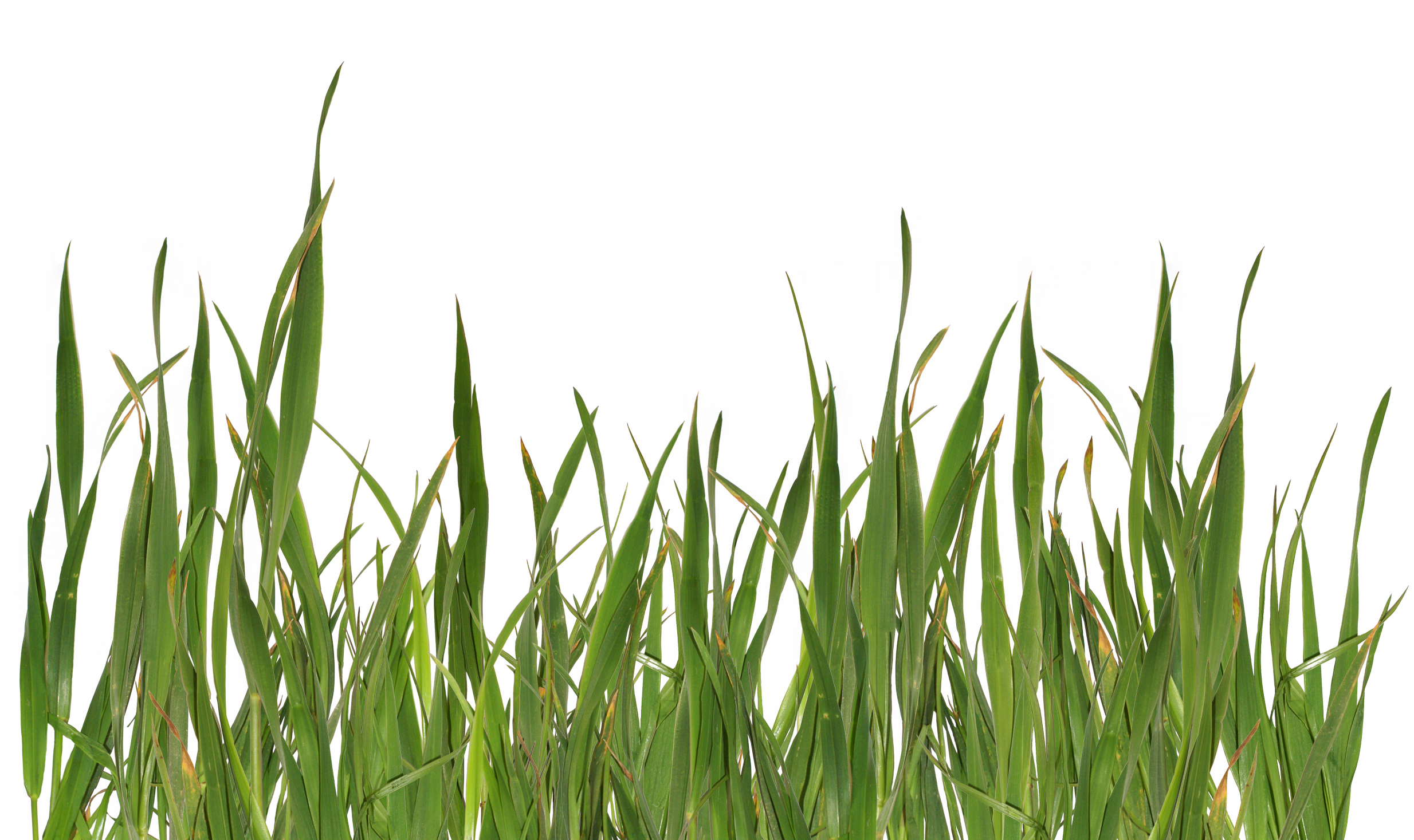 Grasses PNG HD - 150640