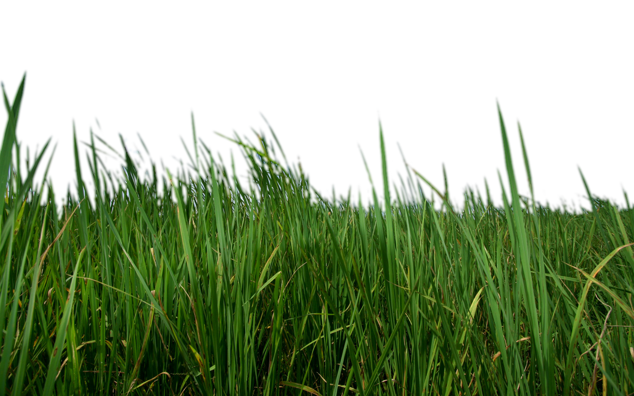 Grass png strands image clipart. Resolution: 550 x 624. Size : 84 KB  Format: Transparent PNG - Grasses PNG HD