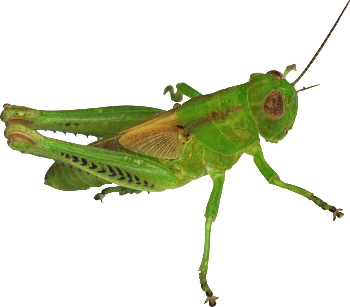 Grasshopper PNG - 28110