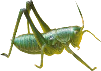 Grasshopper PNG - 28105