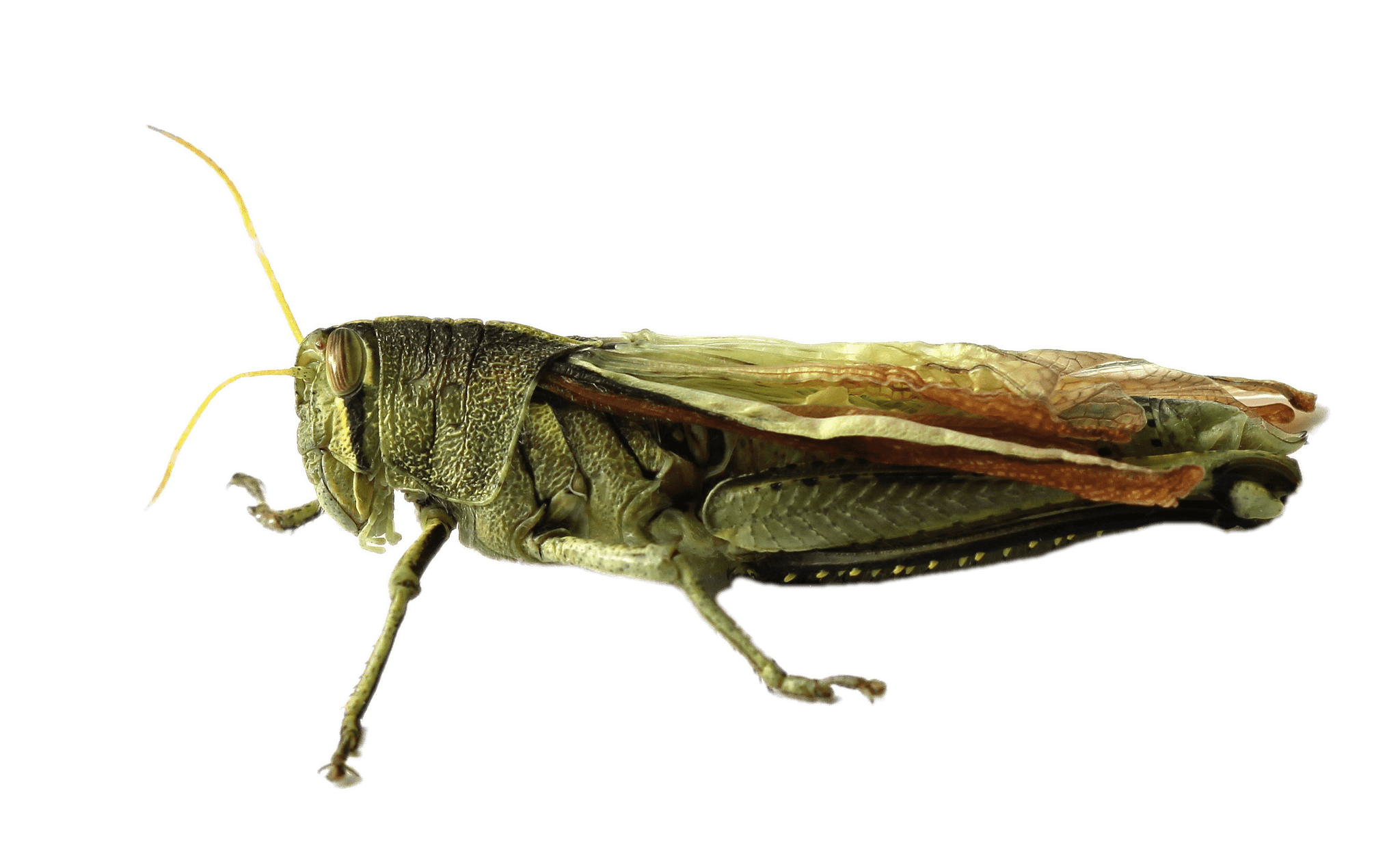 Grasshopper PNG - 28098