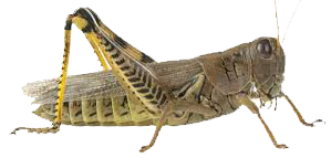 Grasshopper PNG - 28100