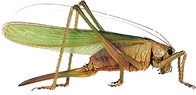 Grasshopper PNG - 28108