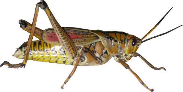 Grasshopper PNG - 28099