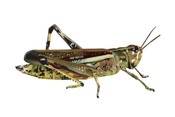 Grasshopper PNG Image - Grasshopper PNG