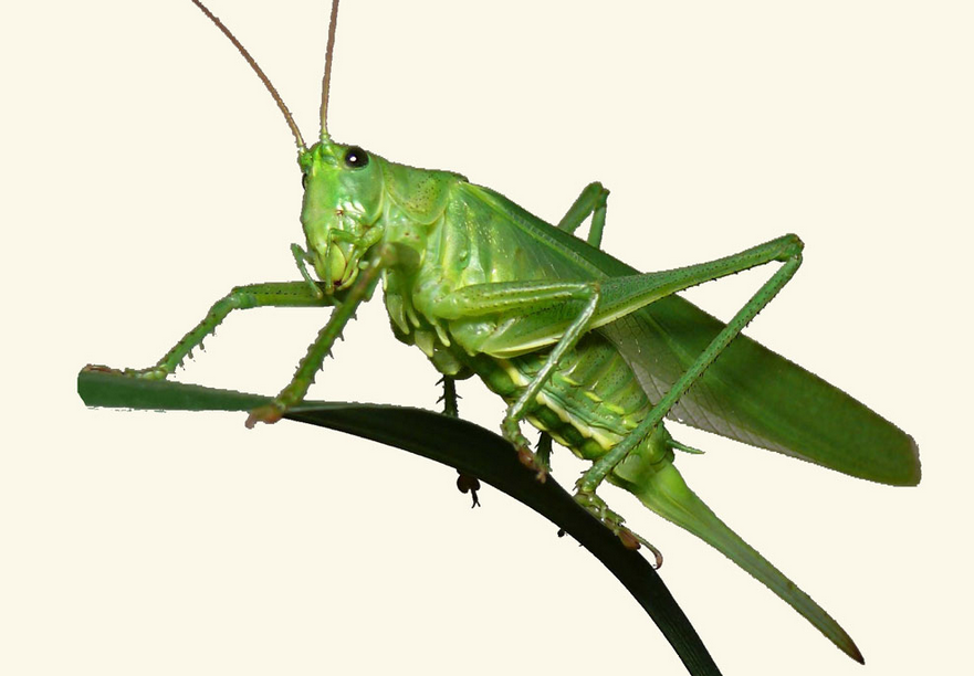 Grasshopper PNG - 28109