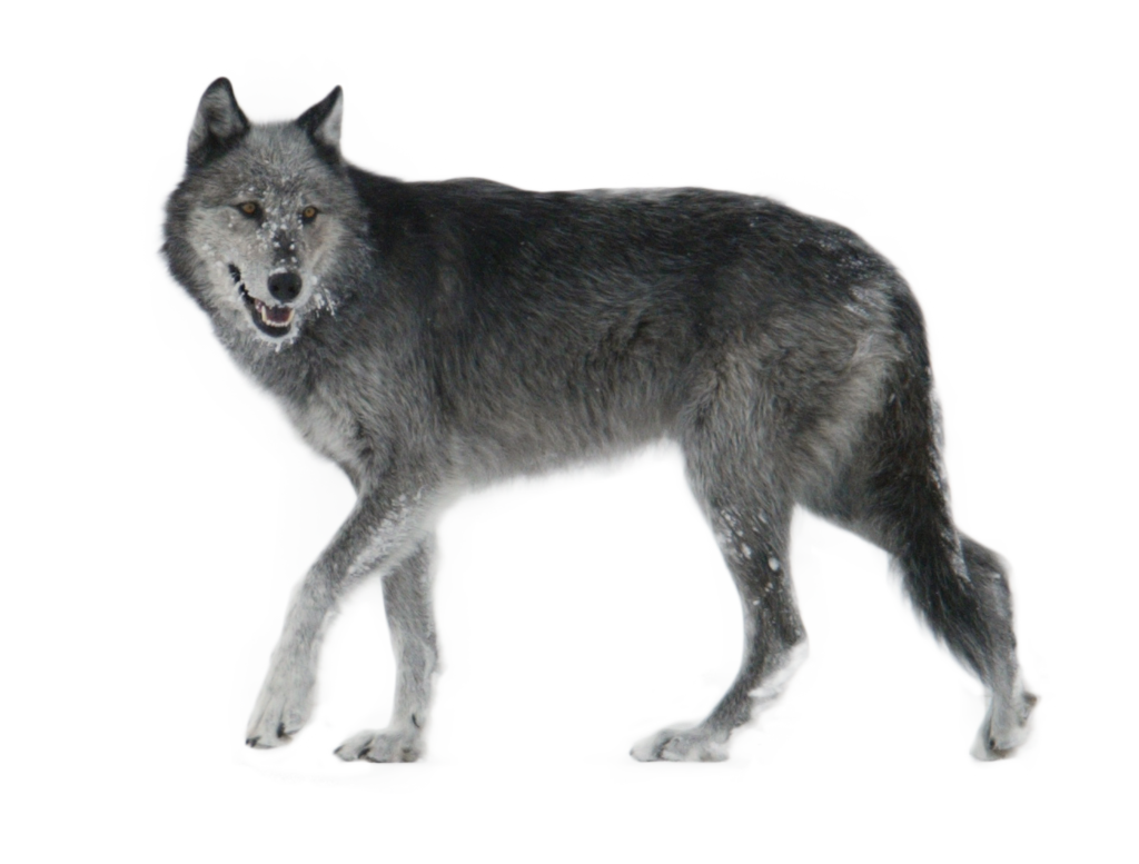 Gray Wolf PNG HD