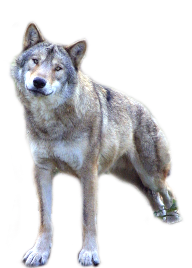 Wolf PNG