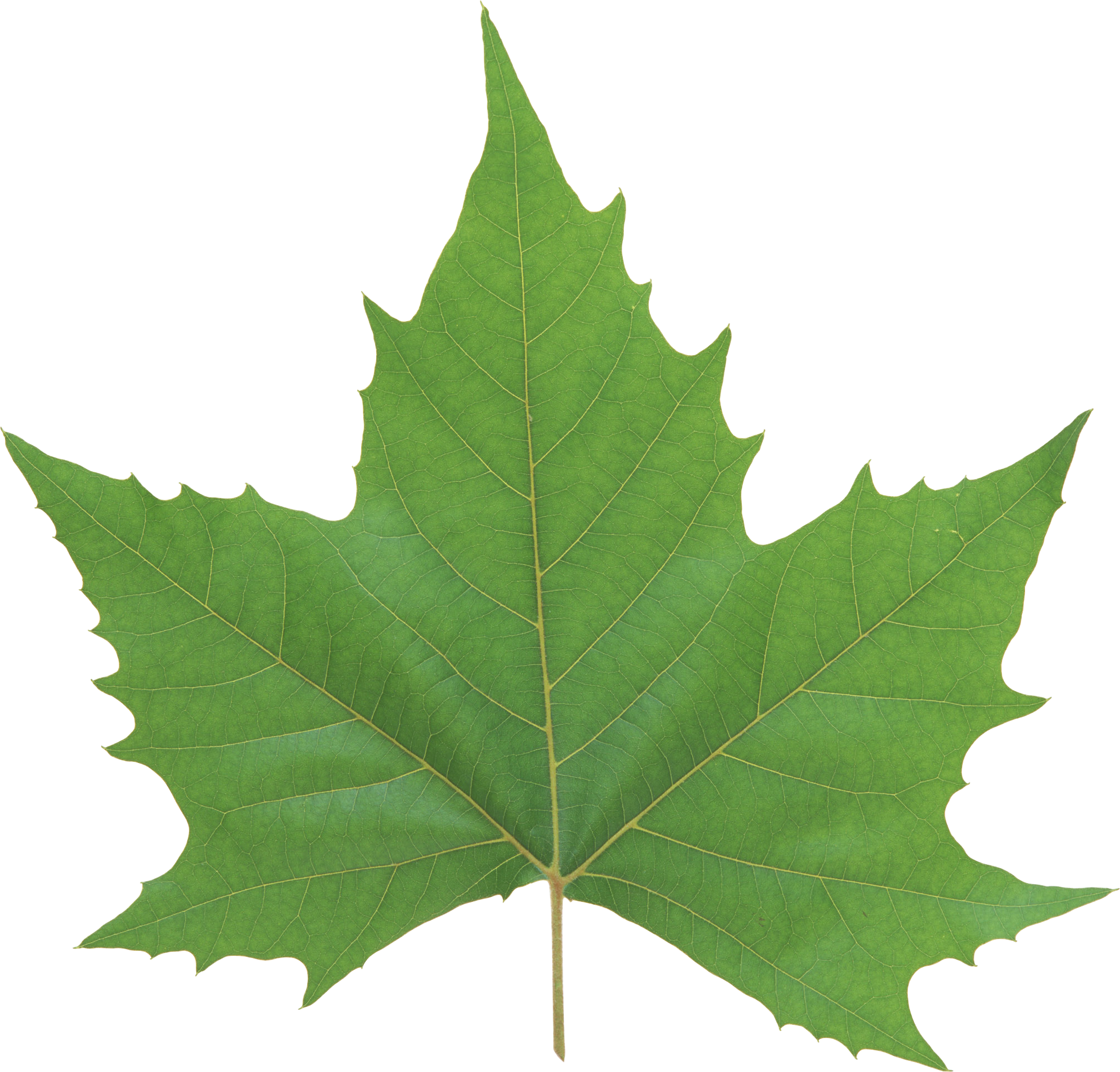 Green Leaf PNG - Leaves PNG