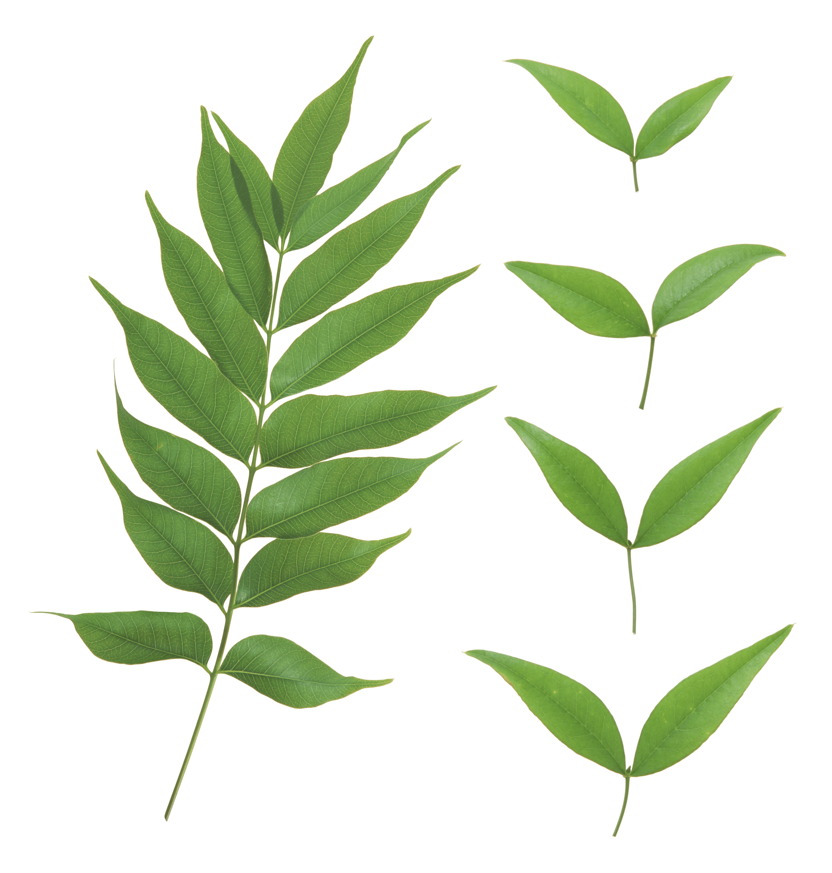 Green Leaf Png PNG Image - Leaves PNG